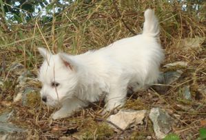 553393-animaux-chiens-west_highland_white_terrier.jpg