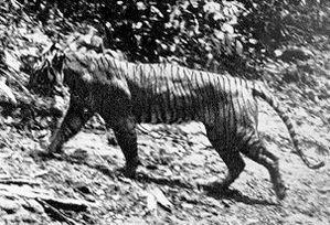 tigre-de-java-2.jpg