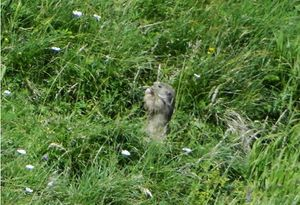 3 marmotte