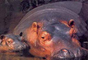 2-Hippopotame2.jpg