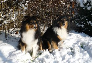shelties-neige001.jpg