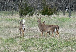 800px-White_tailed_deer_at_Chalco_Hills.jpg
