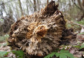 tronc de chêne pourri pf (5)