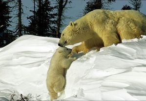 Ours-blanc6-copie-1.jpg