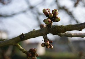 bourgeons de cerisier le 1er avril