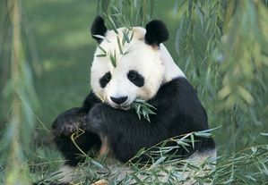 panda-geant-ou-ours-chat.jpg