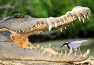 mutualismo-coccodrillo-e-piviere.jpg