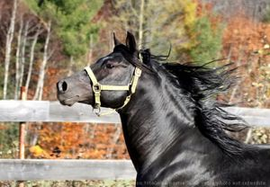 516694-animaux-chevaux-quarter_horse.jpg