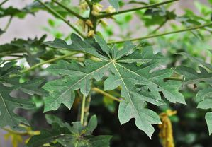800px-Carica_papaya_leaf_14072012-copie-1.JPG