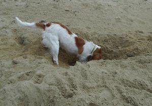 chien-creuser.jpg