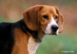 Photo_Beagle_FT2.jpg