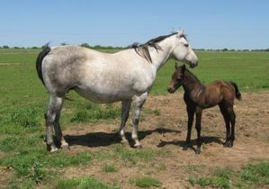 Arrayed-In-Stars-2003-gray-Quarter-Horse-mare.JPG