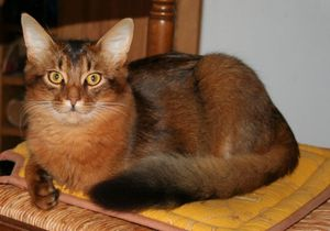 somalis-abyssins-etes-eleveur-chats-race_23972.jpg