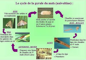 pyrale cycle