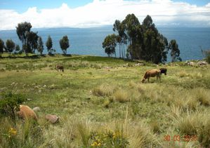 TAQUILE VACHES