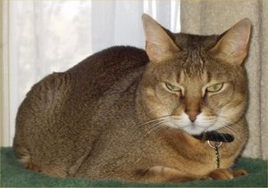 chausie-cat-facts-2.jpg