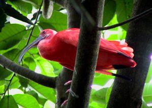 bigi-pan-red-ibis.jpg
