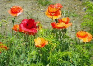 coquelicots fleuris