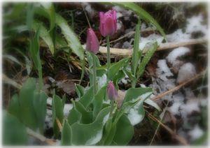 2010-04-26-Tulipes2.jpg