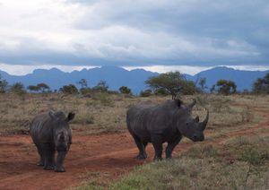 Rhinoceros_en_Afrique_du_Sud.jpg