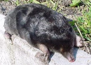 European_mole_animal.jpg