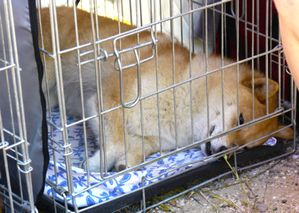 shiba-inu-expo-canine-vari-kennel-cage