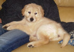Golden_Retriever_-_7_weeks.jpg