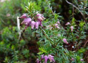 Erica-herbacea-carnea--2-.jpg