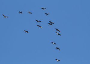 grues-28.10.12-Regis-descamps.jpg