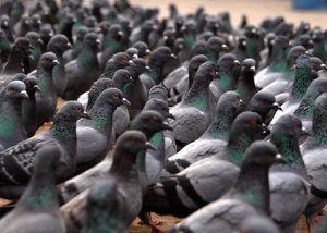 pigeon-ahhh.jpg