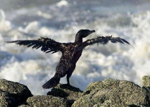 oiseau_mazoute.jpg