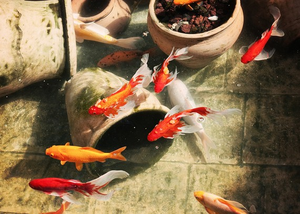 Koi---photo-Robin-Epstein.png