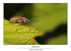 Phyllobius par Olivier Roberjot
