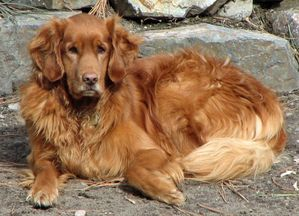 Golden_Retriever_dark_Parker.jpg
