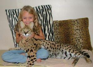 big_serval-ocelots-savannah-kittens-and-bengal-tigar-for-sa.jpg