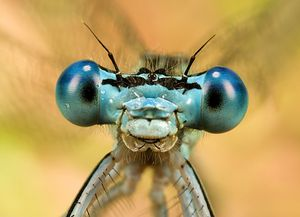 YEUX-AGRION.jpg