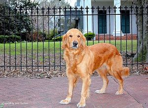 Pilgrimage-2010--Golden-Retriever-Pilgram.jpg