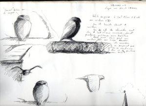 Croquis de terrain Chevêche186