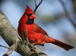 cardinal3 tres petite