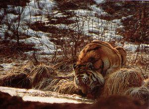 Tigre de Sibérie MHornocker