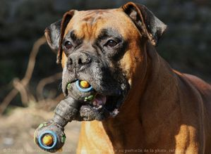 537885-animaux-chiens-boxer.jpg
