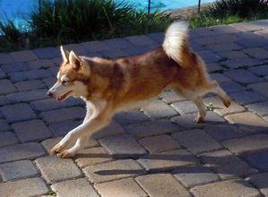 mini-husky-roux-blanc.jpg