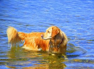 golden-retriever-swimming-by-keir-hardie-qpps_2022393689904.jpg