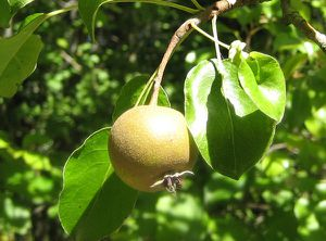 poirier fruit