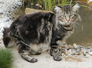 maine-coon-cat-facts-2.jpg