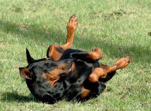 537398-animaux-chiens-dobermann.jpg