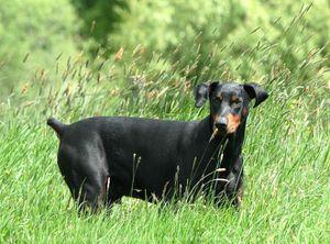 554448-animaux-chiens-dobermann.jpg