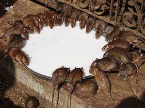 Karni-Mata-Temple.jpg