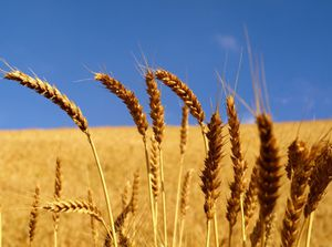 wheat-field-golden-grain.jpg