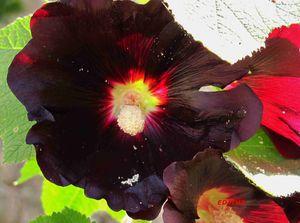 photos rose tr mi re fleur rouge fonc noir plante. Black Bedroom Furniture Sets. Home Design Ideas